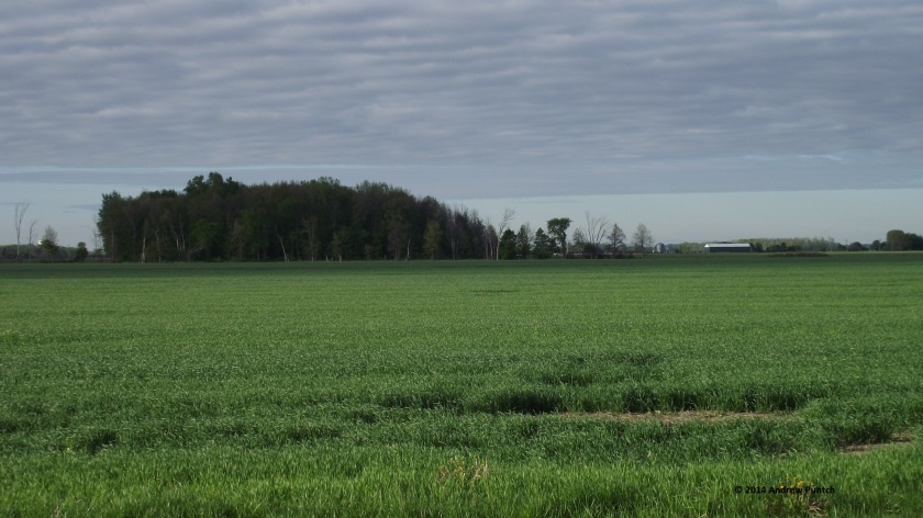 Morning, wheat field and bush, Lambton County
