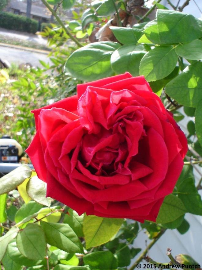 Rose_December_06 - Copy