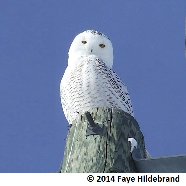 Snowy Owl cropped - Copy